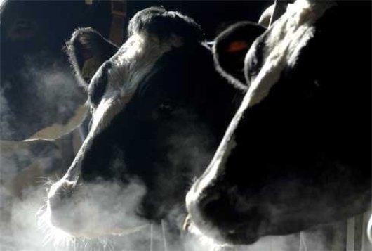 Hoge kwaliteit ruwvoer sleutel tot reductie methaan melkvee